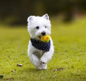 west-highland-white-terrier-1-1024x731